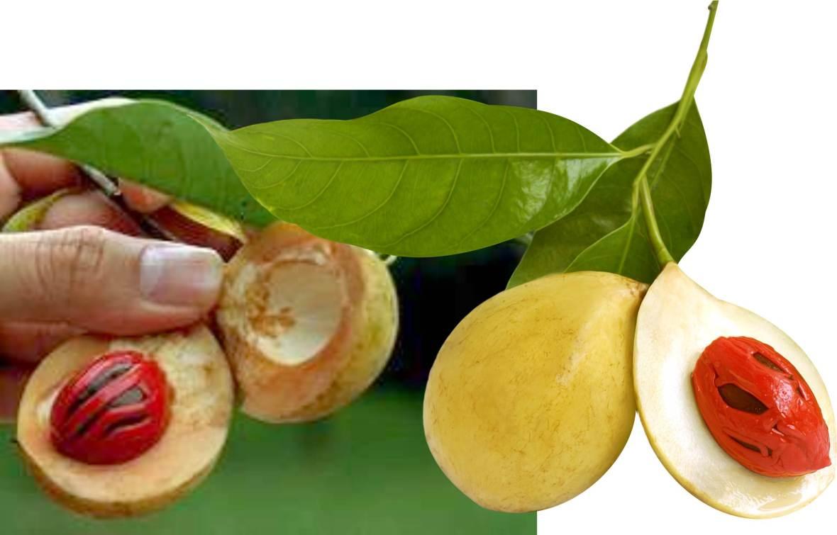 Grenada Nutmeg